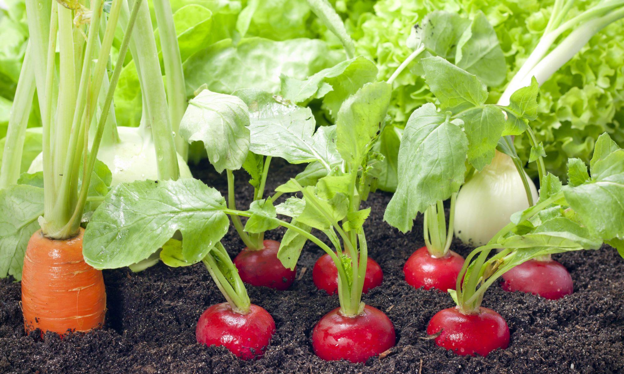 Légumes dans un potager