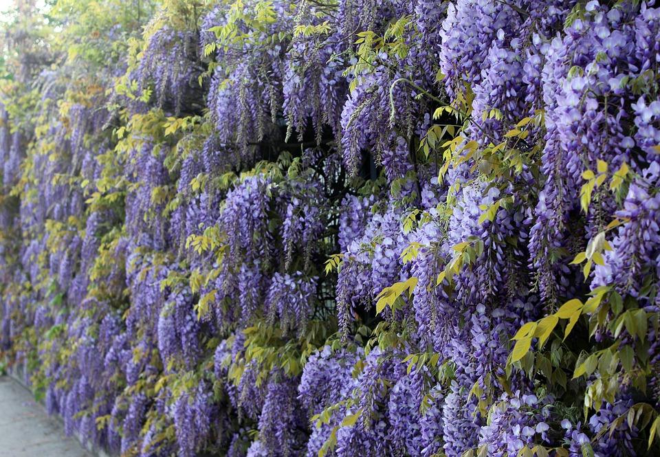 Plantes violettes grimpantes