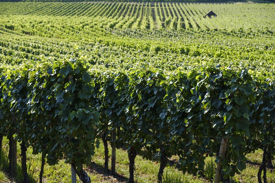 Vue sur des vignes